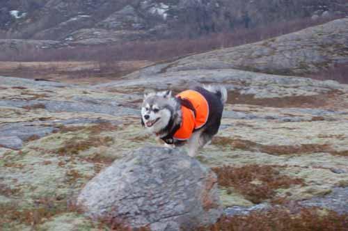 Her er jeg i mitt rette element. på skogstur med pappa og får løpe fritt. nesten 10 mnd. 7.2.2009